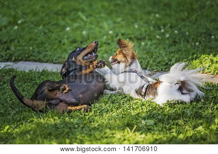Papillon dog and a black dachshund with each other on the green grass.