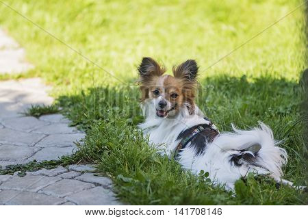 Portrait Papillon dog on a background of green grass front view.