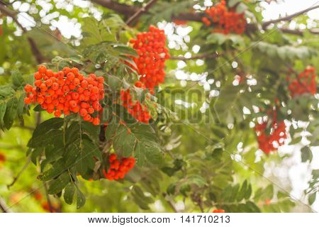 bunches of rowan on the a tree