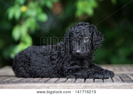 adorable curly coated retriever puppy outdoors in summer