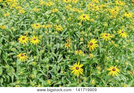Rubeckia or Goldsturm flowers in Voorschoten, the Netherlands.