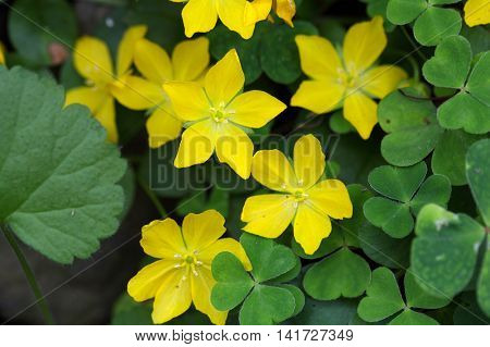 Flowers of a creeping jenny (Lysimachia nummularia)