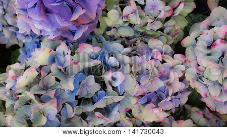 Beautiful hortensia flowers in blue, purple and pink pastel colors