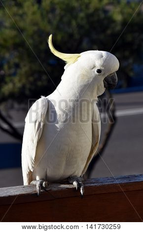 Portrait of Yellow-crested Cockatoo (Sydney NSW Australia)