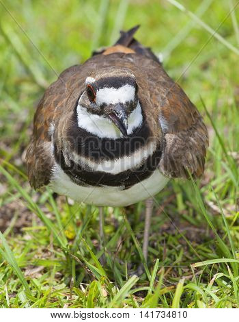Killdeer that is mad the photographer is approaching its nest