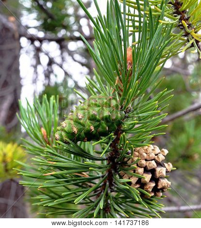 Wild plants Scandinavia and Kola Peninsula: Young green pine cone next to old last year among pine needles on branch northern pine. Focus on green cone