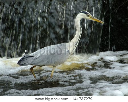 Grey Heron standing in a river next to cascading water