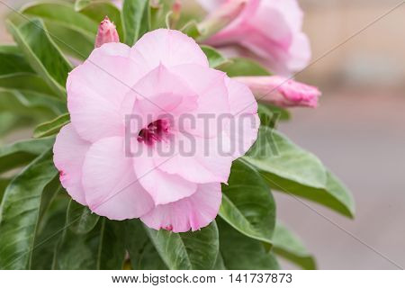 Beautiful Pink adenium tropical flower and leaves