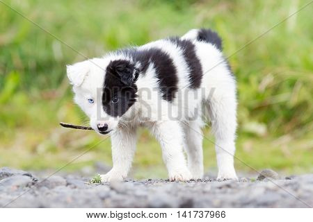 Border Collie Puppy On A Farm, Playing With A Small Stick