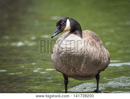 Canada Goose sunning himself on a rock on the Ottawa River.  Big waterfowl bird in springtime.