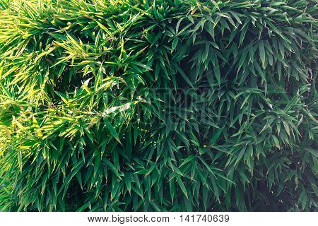 Bamboo leaves.  Green hedge useful as a background.