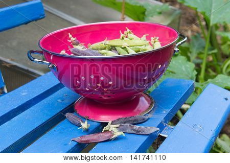 marrow fat and green peas in pink colander on blue bench in vegetable garden