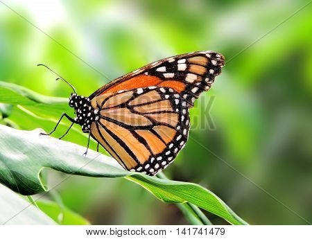 Monarch butterfly sitting or resting on a plant. tropical vegetation.