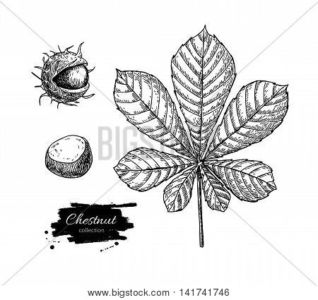 Vector chestnut leaf and nuts drawing set. Autumn elements. Hand drawn detailed botanical illustration. Vintage fall seasonal decor. Great for label sign icon seasonal decor