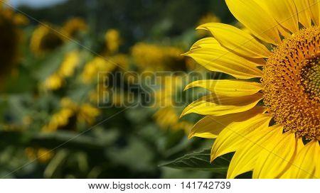 Sunflower field. Beautiful sunflowers blooming on the field. Growing yellow flowers