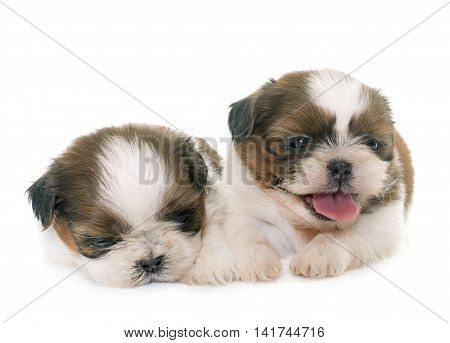 puppies shih tzu in front of white background