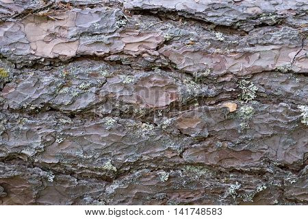 wooden texture of bark of a pine closeup for an abstract natural background