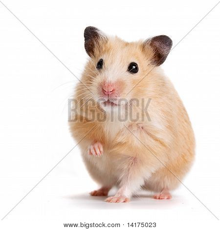 Beige hamster with the lifted pad