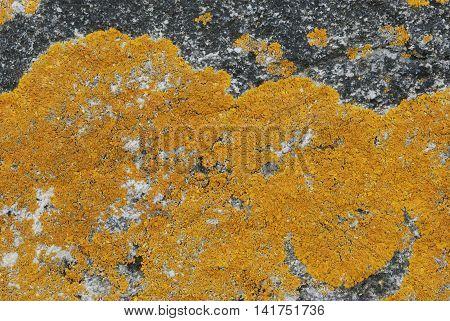 Yellow lichen on bare rock, nature background