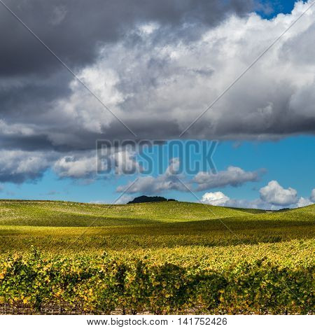 Rolling hills of Napa vineyard on sunny day in autumn. Lush yellow and green grapevines in autumn in Napa Valley California. Bright blue sky and white clouds.