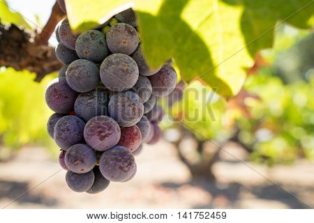Closeup of red and purple Zinfandel grapes, Napa Valley California. Bunch of ripe, red wine grapes hanging in Napa vineyard.
