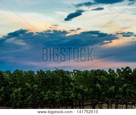 Row of Napa vineyard at sunset with colorful, saturated clouds. Dramatic blue, pink, orange clouds over a line of lush green Napa Valley, California grapevines at dusk.