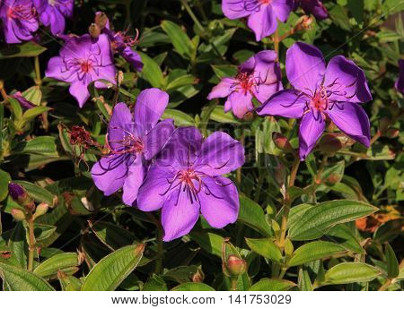 Glory bush bush with beautiful purple flowers.