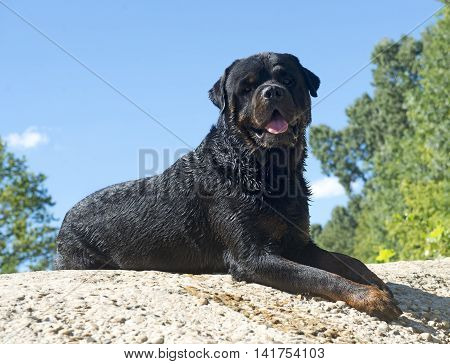 purebred rottweiler lying down on a rock in nature