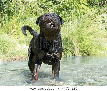 a rottweiler showing his teeth in a river