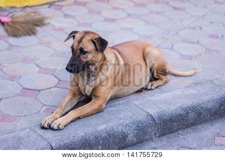 thai stray dog , pet animal mammal