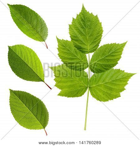 Fresh leaves of cherry and raspberry isolated on a white background. Green leaves with light veins close up. Herbarium.