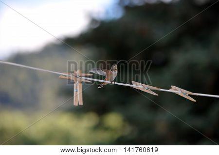 Hummingbird Flying Fast Towards An Outdoor Clothesline