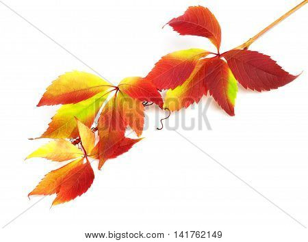 Branch of autumn grapes leaves (Parthenocissus quinquefolia foliage). Isolated on white background.