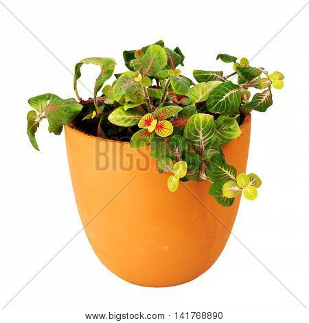 Mosaic plant Fittonia a potted plant isolated on white background