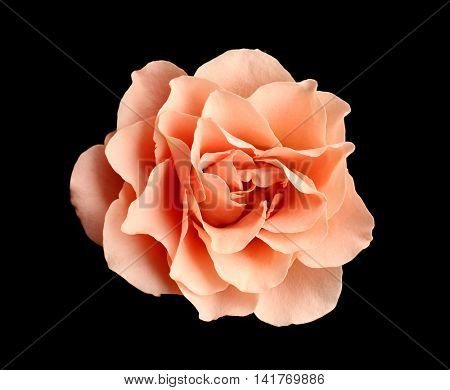Beautiful pink rose on black background