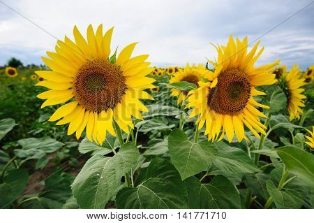field of blooming sunflowers on a background of moody sky