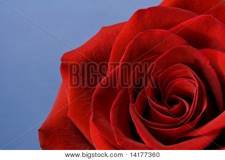 Red Rose Isolated On Blue