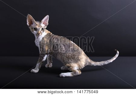 Kitten of breed Devon Rex on a dark background
