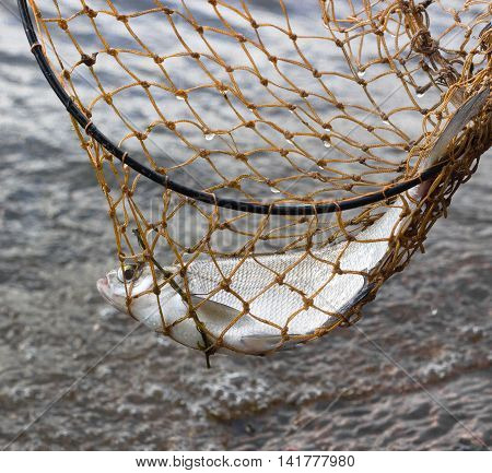 Fish caught in the fishnet above the water