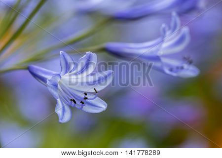 A very close up view of a blue Agapanthus