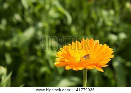 Bee in flower bee amazing, honeybee pollinated of yellow flower