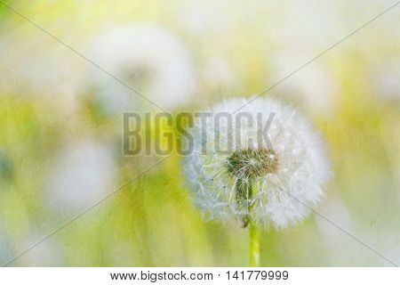Dandelions with an applied painterly texture effect.