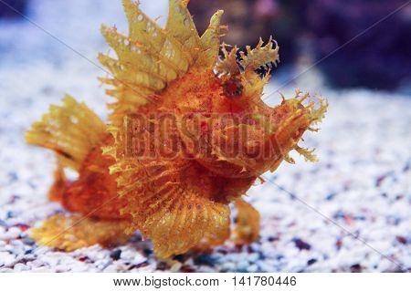 Weedy Scorpionfish Rhinopias frondosa , animal life in the underwater
