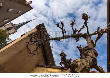 Old grapevine on the street of Mittelbergheim. Alsace France.