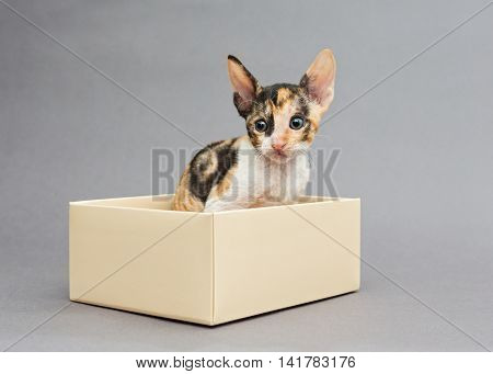 Kitten Cornish Rex in gift box on gray background