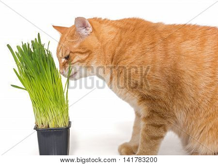 Red cat eats green grass isolated on white
