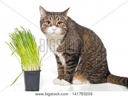 Grey cat and green grass isolated on white
