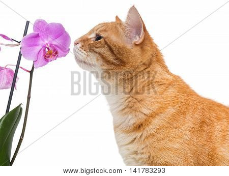 Red cat and an Orchid flower isolated on white background