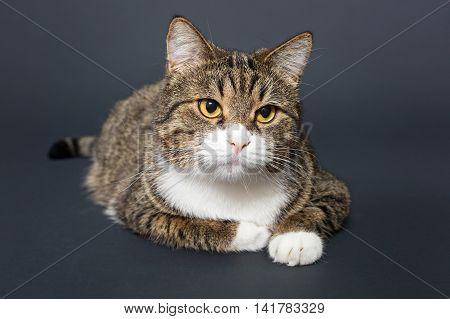 Big fat grey cat on black background