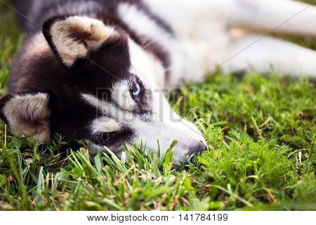 Siberian Husky. The Siberian Husky Rests On The Grass.